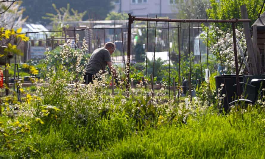 Garden allotments in Twickenham, south-west London