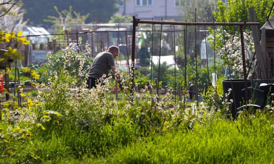 People working in garden allotments, Twickenham, London, UK, April 2020, as the national lockdown got underway.