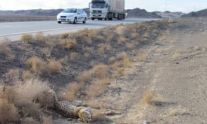 A cheetah lies dead on the side of the road in Iran