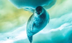 A Weddell seal under the sea ice, part of footage used in BBC One's Seven Worlds, One Planet series last year.