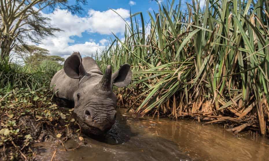 A baby rhino whose mother was killed by poachers has been hand-raised at the Lewa Wildlife Conservancy in Ngare, Kenya.