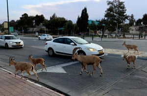 Mitzpe Ramon, Israel: Nubian ibexes cross the road during the national lockdown, in the southern city of Mitzpe Ramon in the Negev desert