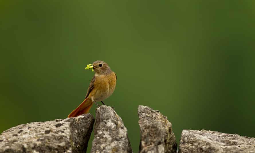 Redstart in Derbyshire