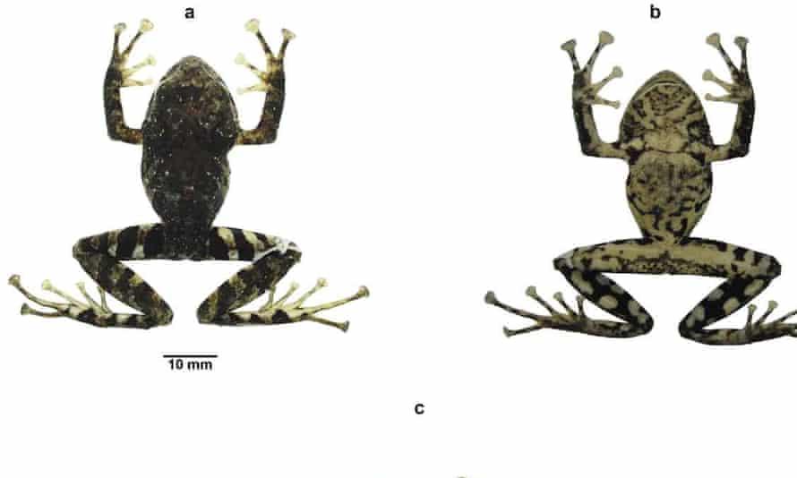 Pristimantis ledzeppelin, adult female.