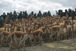 A herd of vicunas about to be captured and sheared in the Puyo Puyo community at Apolobamba Protected Area in Pelichucu, Bolivia.