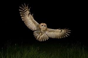 Tawny owl in flight at night