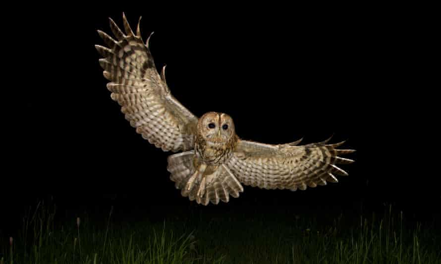 'No merry note, nor cause of merriment' … a tawny owl in flight.