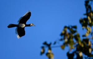 An oriental pied hornbill takes off in search of food in Pobitora wildlife sanctuary in Assam, India