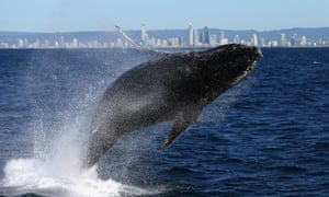 Japan will ask countries to vote at the IWC meeting on a so-called 'reform' proposal that would set 'sustainable' quotas for hunting whales