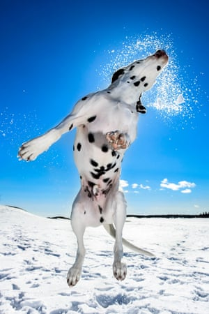 Daniel Nygaard won third place in the dogs at play category with his jumping dalmatian