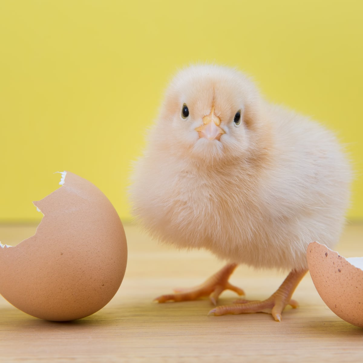 Is it possible to change a chicken's sex before it hatches?   Eggs   The  Guardian