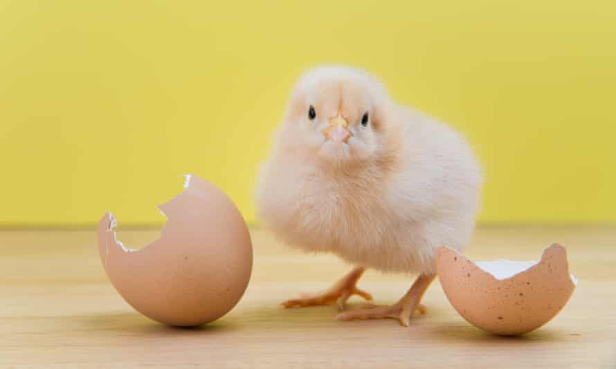 a recently hatched chick stands by its eggshell
