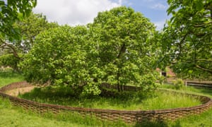 Newton's apple tree in the orchard at Woolsthorpe Manor, Lincolnshire