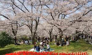 Famous cherry bloom, cherry blossom festival in the botanical garden in Kyoto, Japan, Asia