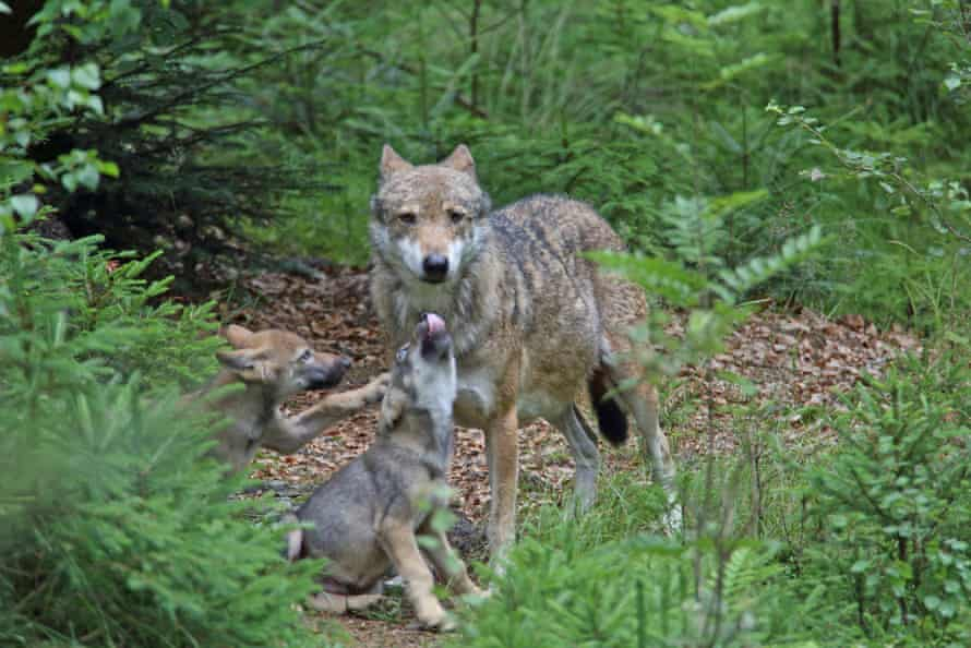 A wolf and cubs