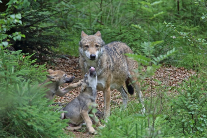 40d53995f Harmless or vicious hunter? The uneasy return of Europe's wolves ...