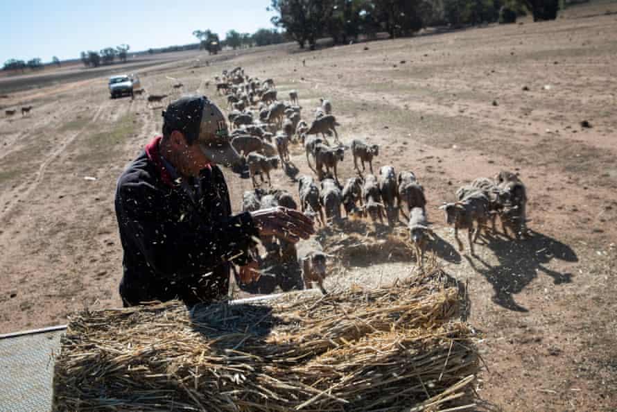 Greg Jerry hand feeds sheep on Maryborough