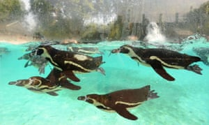 London, UK. Humboldt penguins swim in the pool at Penguin Beach at London Zoo in Regent's Park, as temperatures are forecast to hit 35C on Thursday amid a heatwave across the UK.