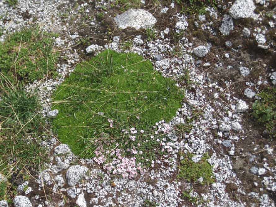 Silene acaulis, known as moss campion