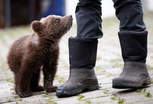 An orphaned baby bear in Gunjani, Bosnia and Herzegovina