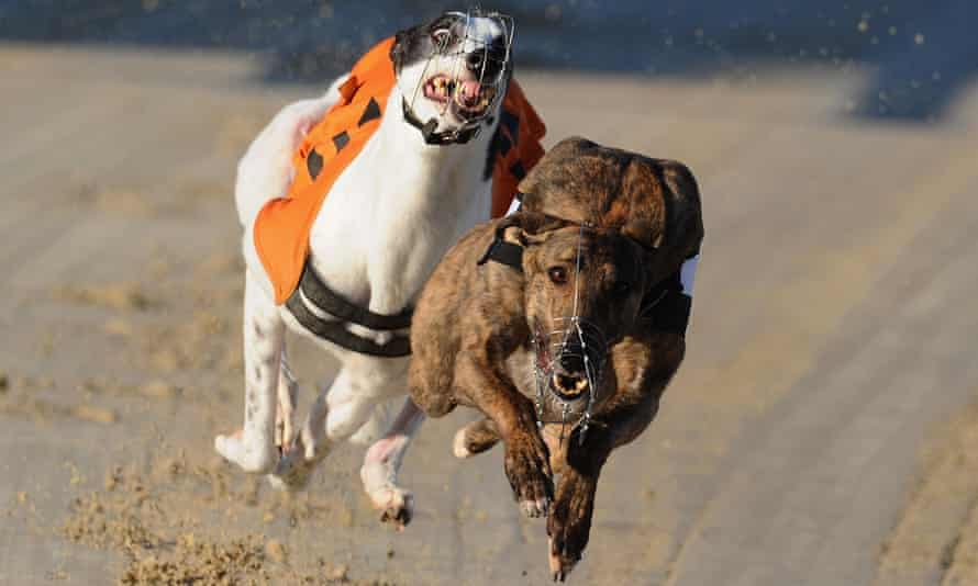 The inquiry into the New South Wales greyhound industry is expected to focus on dogs' welfare.