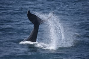 This whale is thwacking its tail up and down in behaviour known as lob-tailing