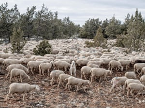A mastiff sits among sheep as they graze near the village of Codes.