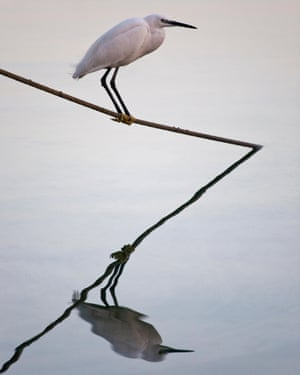 Little Egret (Egretta Garzetta), Majorca, Spain,