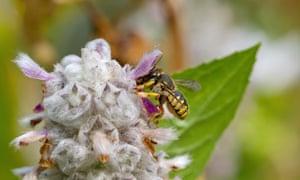 Wool carder bee (Anthidium manicatum), female on lambs' ears (Stachys byzantina)