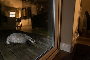 A badger is captured in a Surrey garden at night using a camera trap