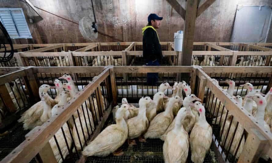 An employee checks on the ducks at Hudson Valley foie gras farm in Ferndale, New York.