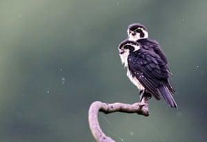 Pied falconets in Wuyuan County, Jiangxi province, China.