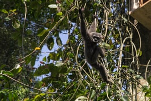 A silvery gibbon, known as Owa Jawa, at Tilu Mountain in West Java, Indonesia
