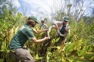 Scientists wrangle a python