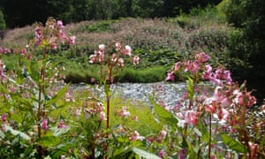 Himalayan balsam spreading out along the banks of a river – seeds can travel 35ft and the dense, tall clusters smother other plant life.