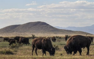 A herd of American bison of genetically pure breed that have been reproduced as part of a bison and grassland conservation program at El Uno ranch in Chihuahua state, Mexico