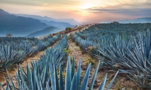 Field of blue agave cactus near Tequila.