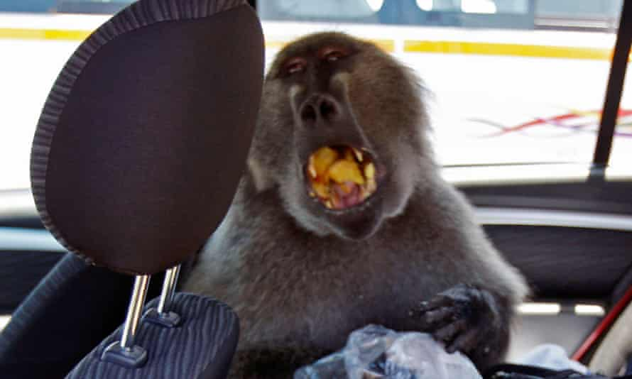 A baboon called Fred sits eating in the backseat of a car at Cape Point on the outskirts of Cape Town