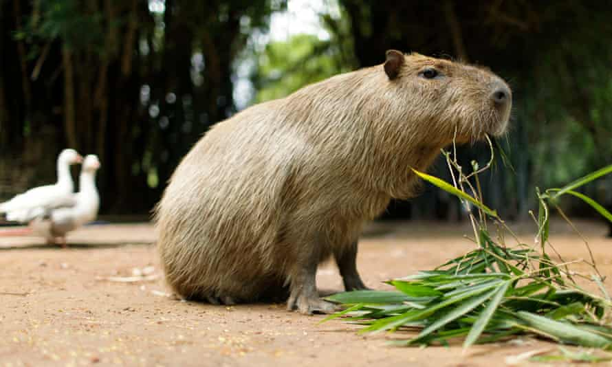 One of the capybaras was captured earlier this month, but the other remained at large for another two weeks, outmaneuvering search teams in hot pursuit.