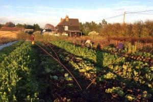 Harvesting at Sutton Community Farm as the sun sets