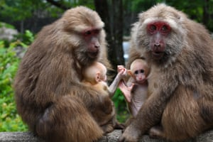 Macaques hold their offspring at a national nature reserve in Mount Wuyi in southeast China's Fujian Province