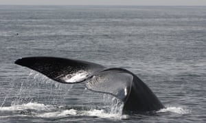 A North Atlantic right whale breaching in the Bay of Fundy, Canada.