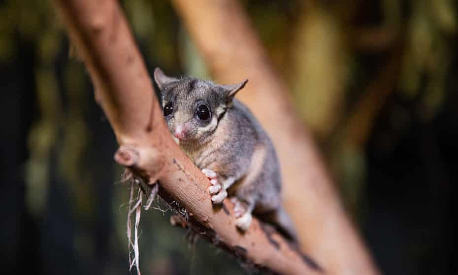 The critical habitat for the Leadbeater's possum has been identified but it is not listed on the critical habitat register.