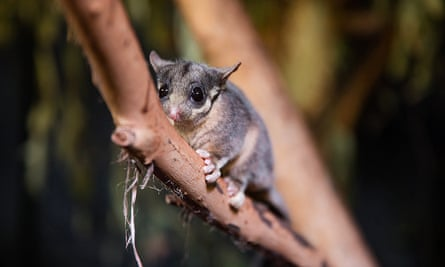 Leadbeater's possum at Melbourne zoo. Australia's political parties are facing calls to explain what role they will play in securing a global deal to save nature