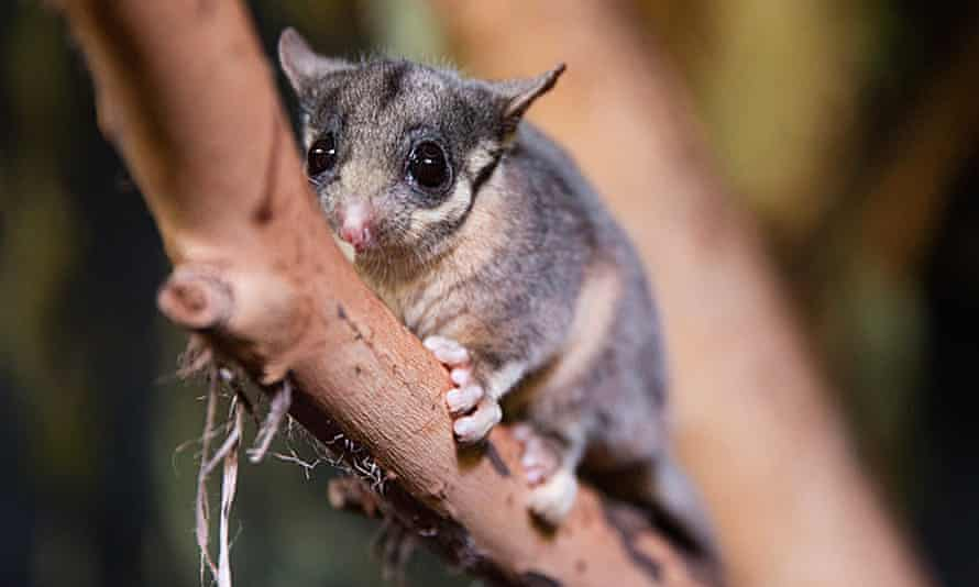 The leadbeater's possum is critically endangered.