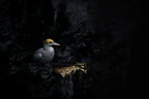 Northern gannet, Bempton Cliffs, United Kingdom