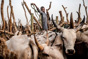 A boy gathers cows at a livestock market a few days ahead of the country's general election. Nomadic cattle herders and farmers have been in near-daily clashes that have left thousands dead and hundreds of villages affected