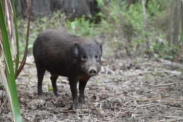 An adult male pygmy hog.