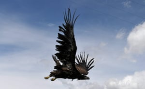 A white-tailed eagle is released into the wild
