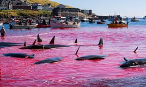 Over 400 pilot whales were killed in this year's hunt in the Faroe Islands.